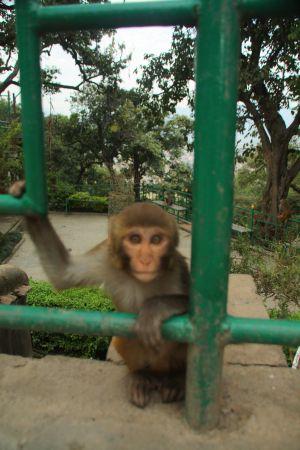 MT 1 monkey