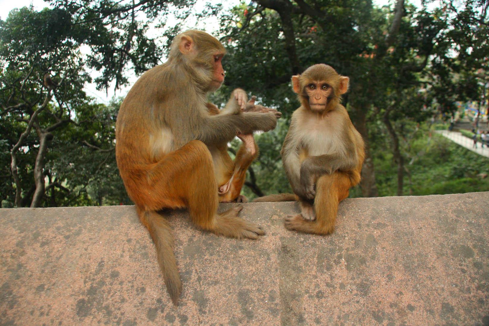 MT 2 Affen auf Mauer