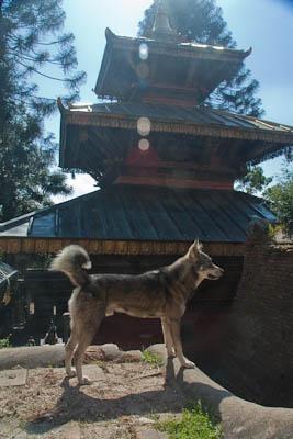 VY_Tempelhund
