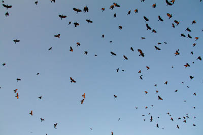 Krähen in der Luft
